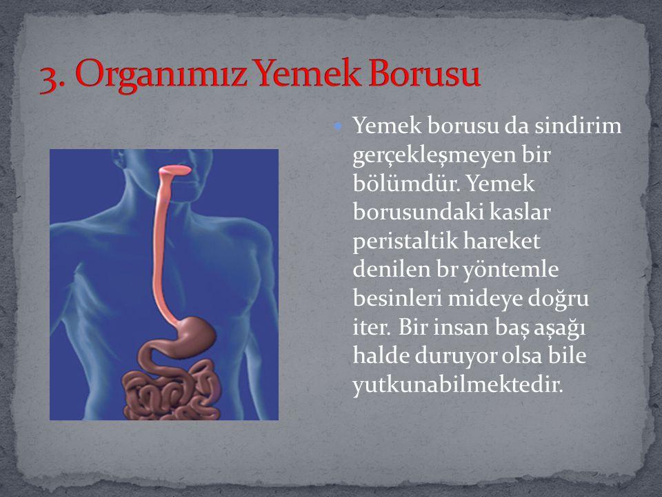 3. Organımız Yemek Borusu