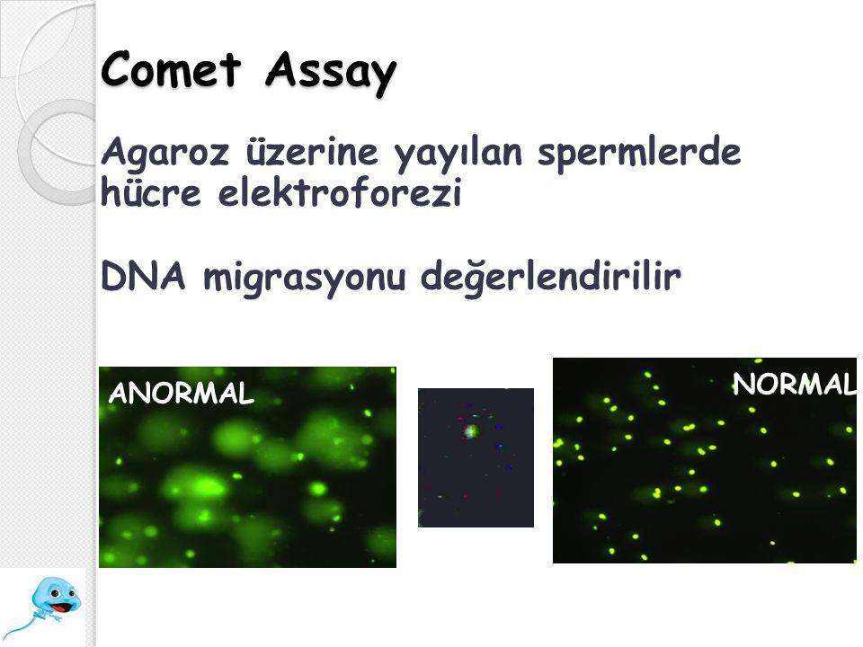 Comet Assay Agaroz üzerine yayılan spermlerde hücre elektroforezi