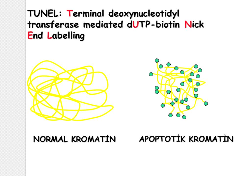 TUNEL: Terminal deoxynucleotidyl transferase mediated dUTP-biotin Nick End Labelling