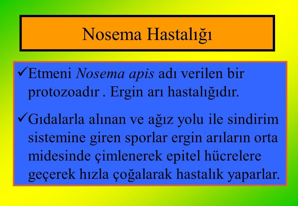 Nosema Hastalığı Etmeni Nosema apis adı verilen bir protozoadır . Ergin arı hastalığıdır.