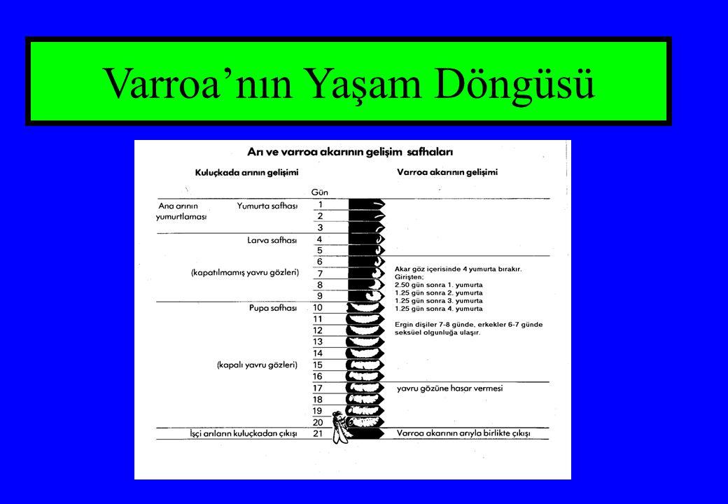 Varroa'nın Yaşam Döngüsü