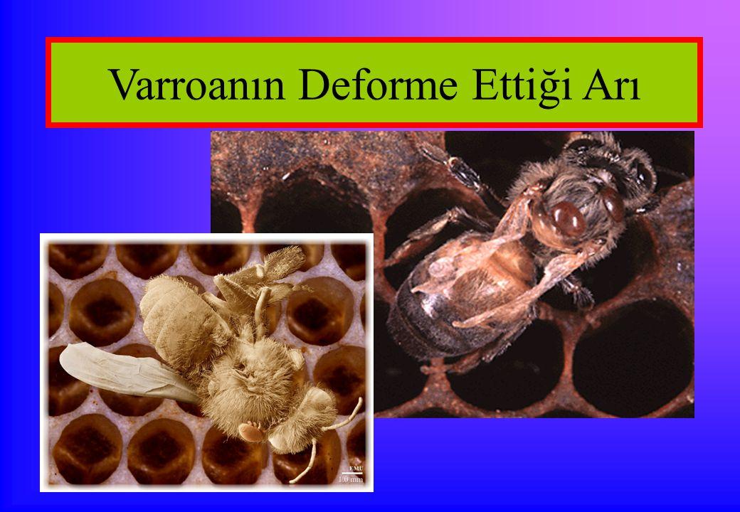 Varroanın Deforme Ettiği Arı