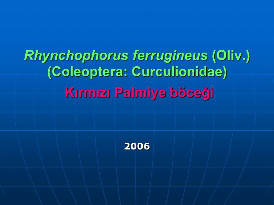 Rhynchophorus ferrugineus (Oliv