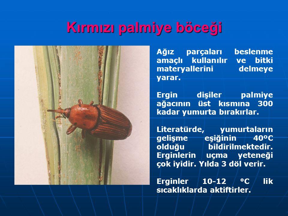 Kırmızı palmiye böceği