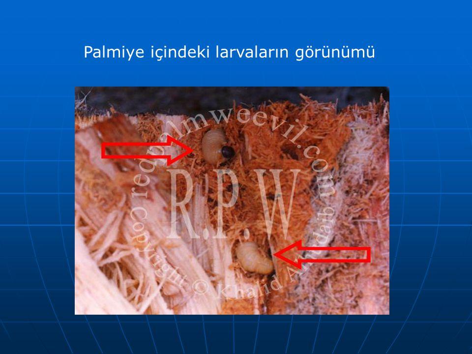 Palmiye içindeki larvaların görünümü