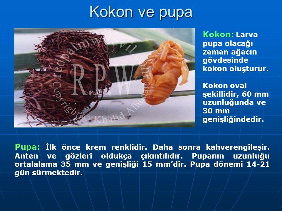 Kokon ve pupa Kokon: Larva pupa olacağı zaman ağacın gövdesinde kokon oluşturur. Kokon oval şekillidir, 60 mm uzunluğunda ve 30 mm genişliğindedir.