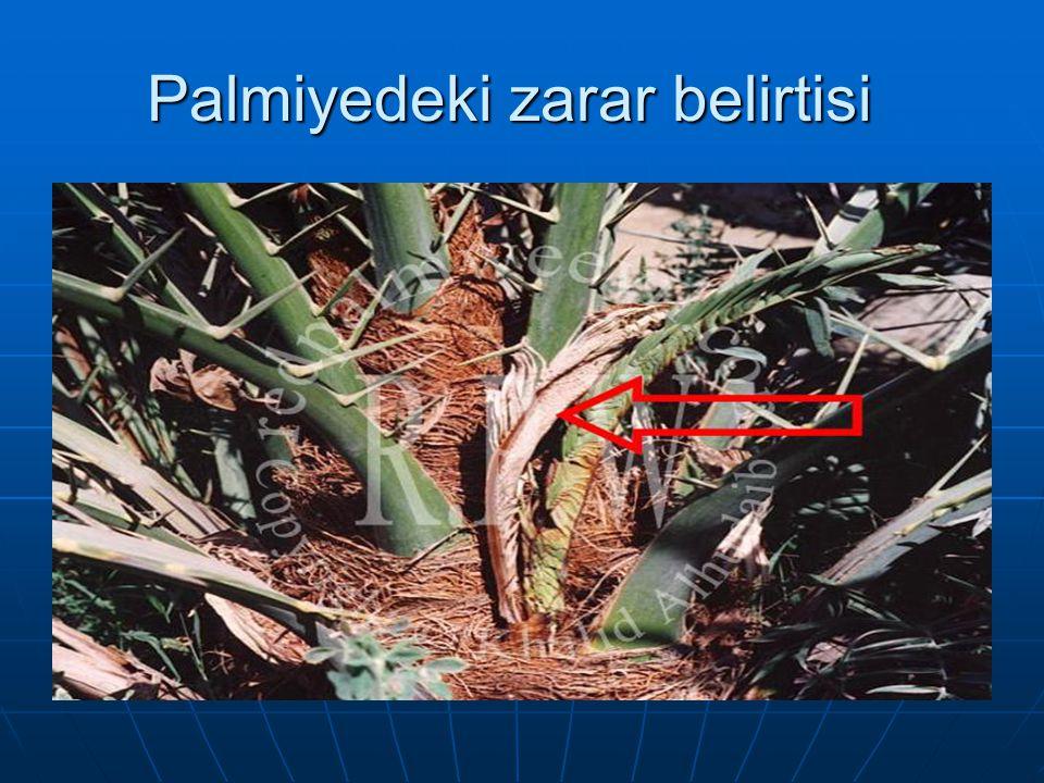 Palmiyedeki zarar belirtisi