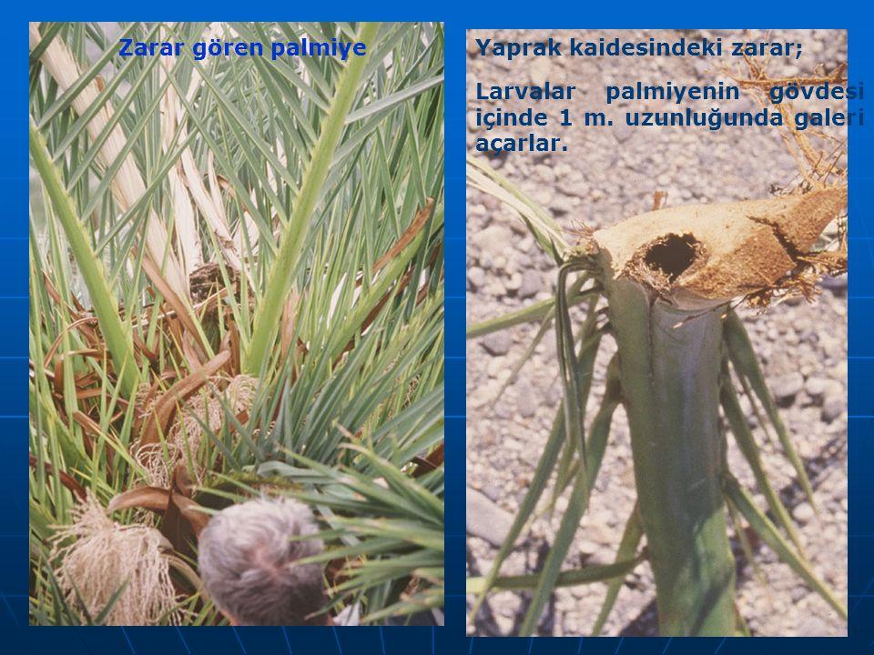 Zarar gören palmiye Yaprak kaidesindeki zarar; Larvalar palmiyenin gövdesi içinde 1 m.