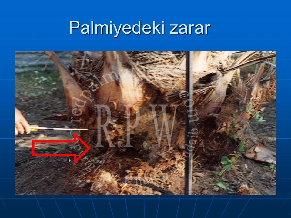 Palmiyedeki zarar