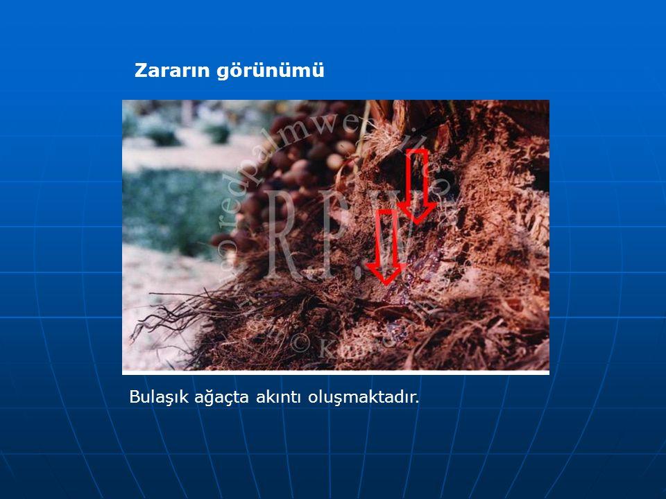 Zararın görünümü Bulaşık ağaçta akıntı oluşmaktadır.