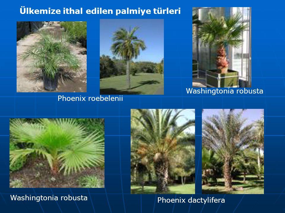 Ülkemize ithal edilen palmiye türleri