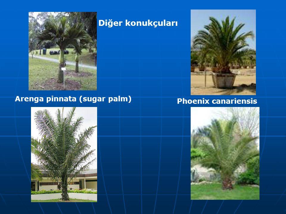 Diğer konukçuları Arenga pinnata (sugar palm) Phoenix canariensis