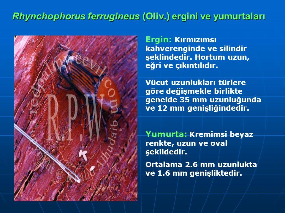 Rhynchophorus ferrugineus (Oliv.) ergini ve yumurtaları