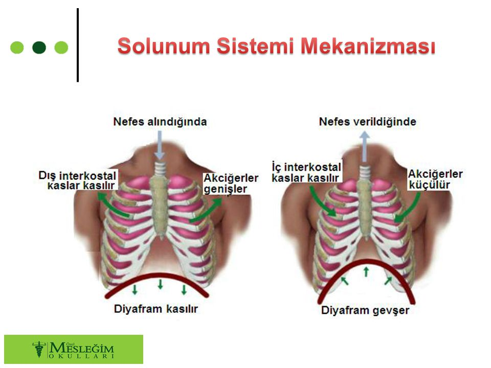 Solunum Sistemi Mekanizması