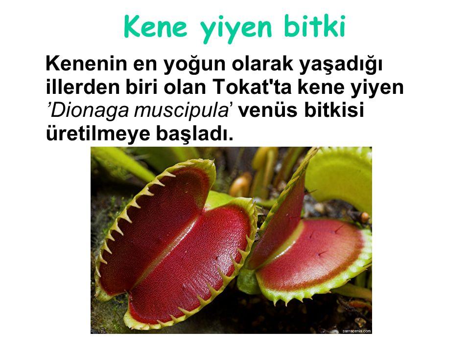 Kene yiyen bitki Kenenin en yoğun olarak yaşadığı illerden biri olan Tokat ta kene yiyen 'Dionaga muscipula' venüs bitkisi üretilmeye başladı.