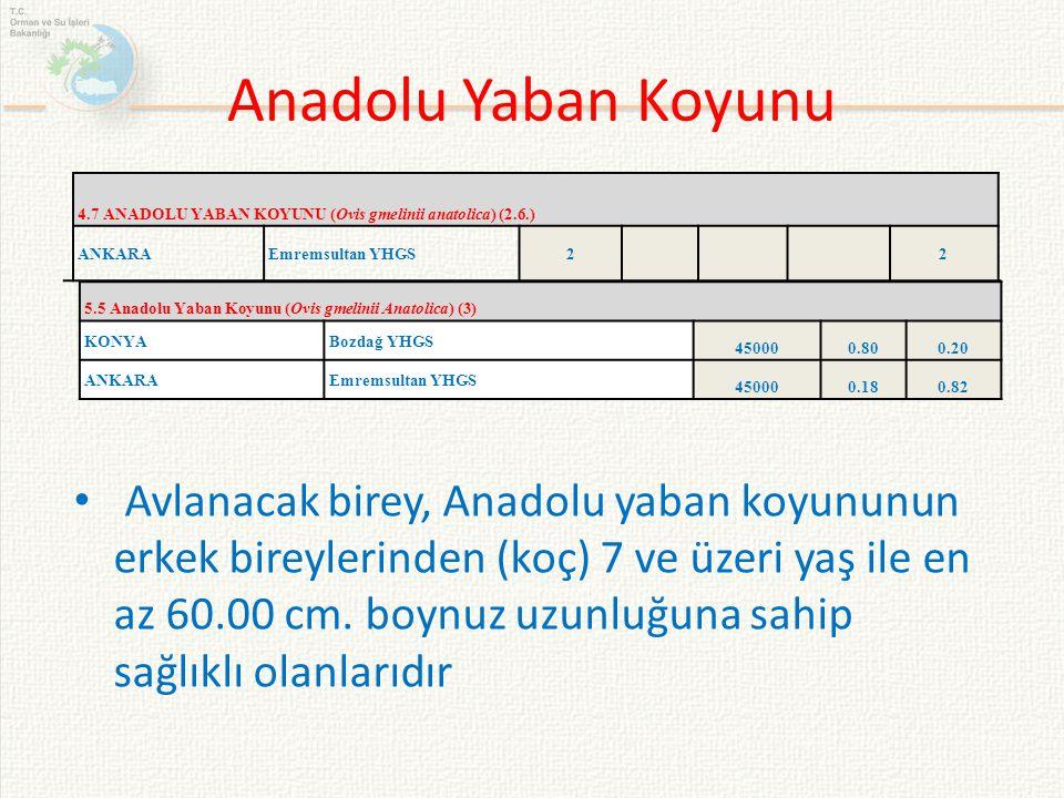 Anadolu Yaban Koyunu 4.7 ANADOLU YABAN KOYUNU (Ovis gmelinii anatolica) (2.6.) ANKARA. Emremsultan YHGS.