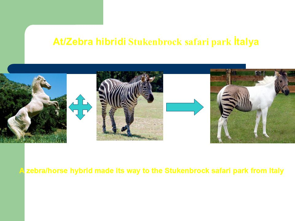 At/Zebra hibridi Stukenbrock safari park İtalya