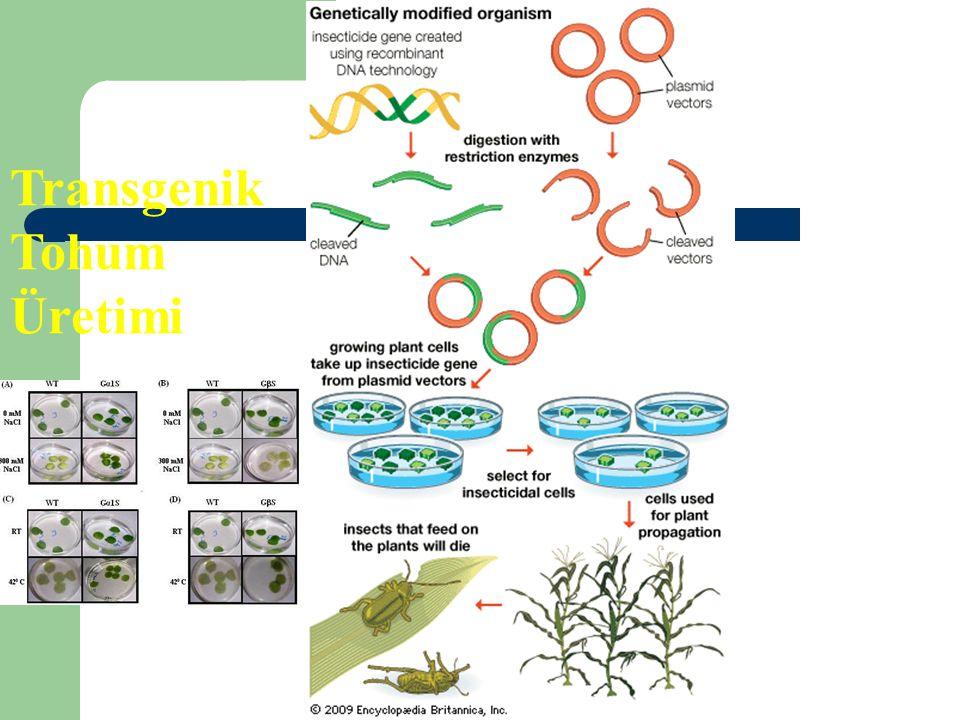Transgenik Tohum Üretimi