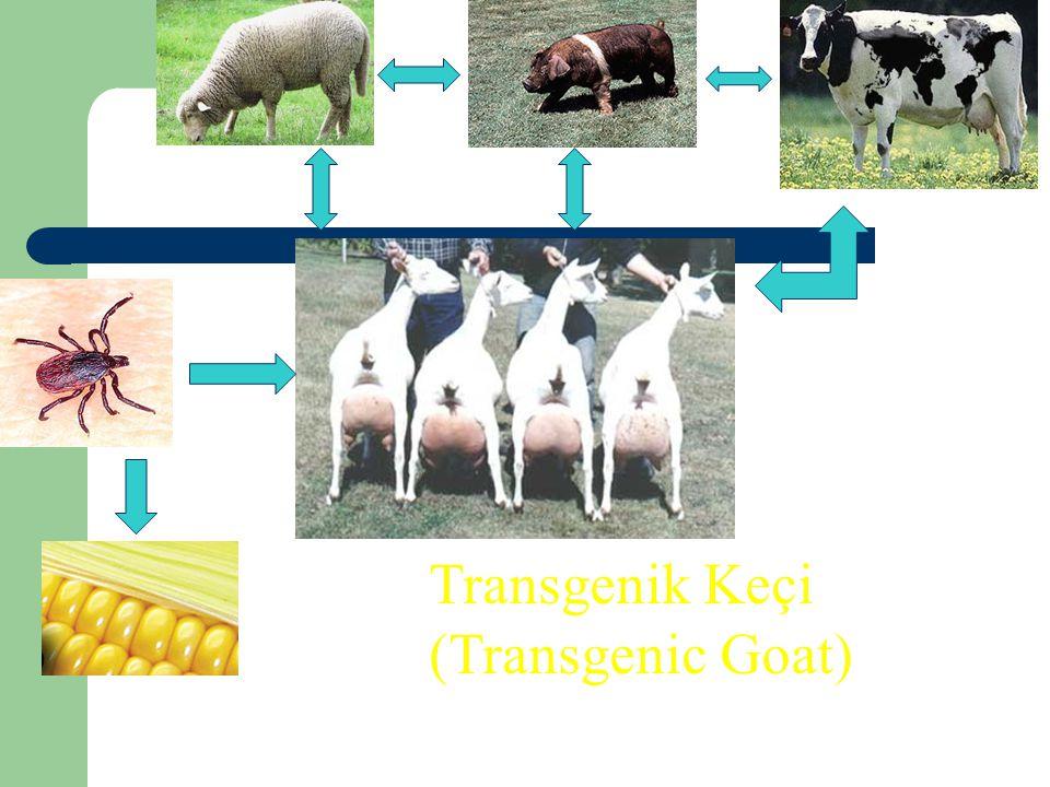 Transgenik Keçi (Transgenic Goat) 53