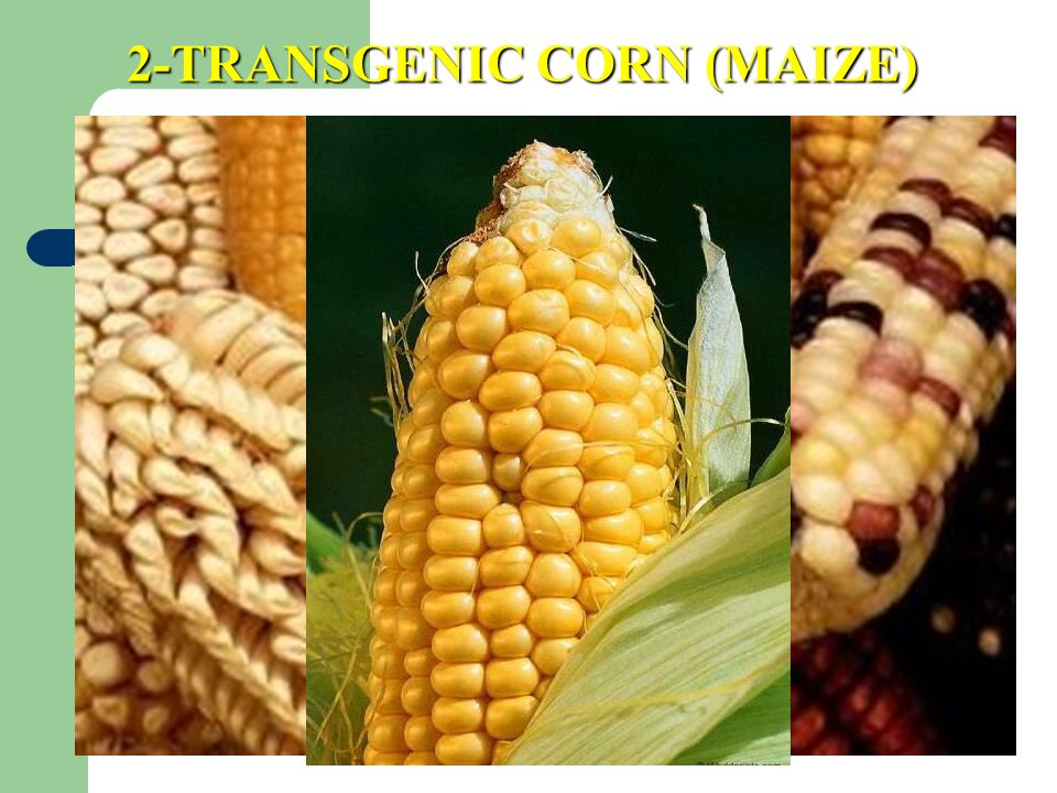 2-TRANSGENIC CORN (MAIZE)