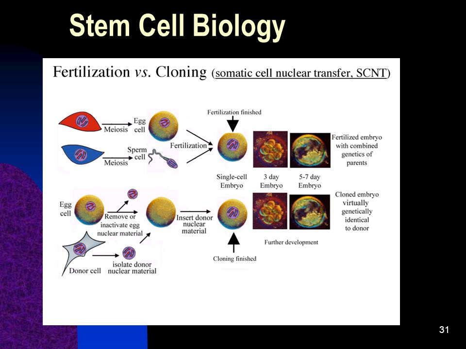 Stem Cell Biology Note the sources of embryonic stem cells:
