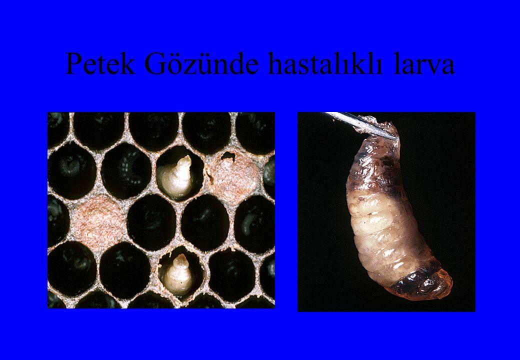 Petek Gözünde hastalıklı larva