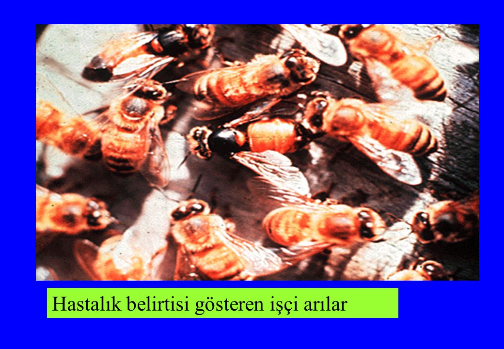 Hastalık belirtisi gösteren işçi arılar