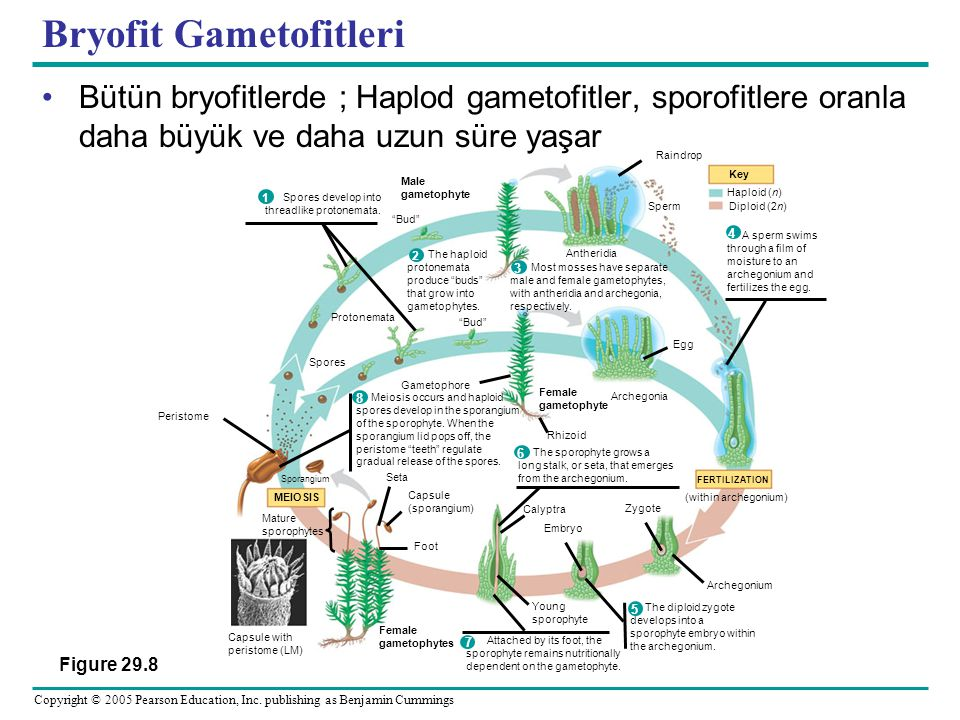 Bryofit Gametofitleri
