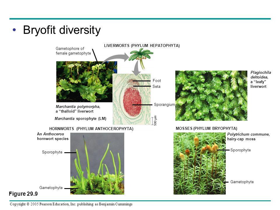 Bryofit diversity Figure 29.9 LIVERWORTS (PHYLUM HEPATOPHYTA)