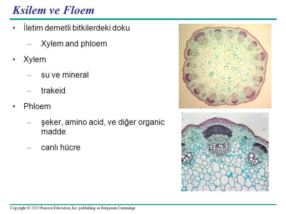 Ksilem ve Floem İletim demetli bitkilerdeki doku Xylem and phloem
