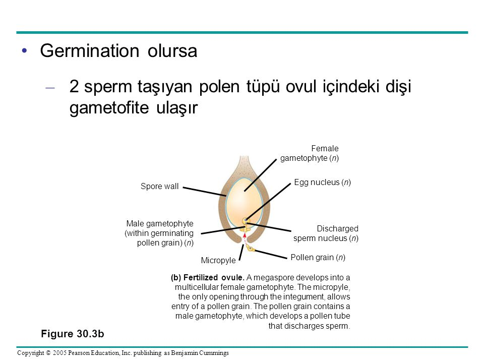 Germination olursa 2 sperm taşıyan polen tüpü ovul içindeki dişi gametofite ulaşır. Female. gametophyte (n)