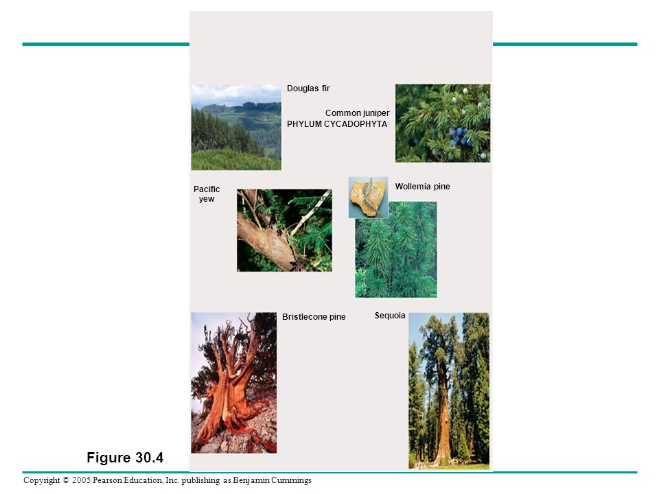 Figure 30.4 Douglas fir Common juniper PHYLUM CYCADOPHYTA