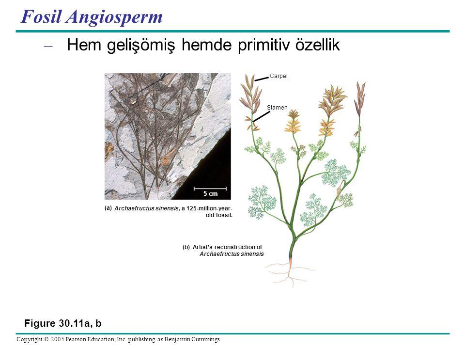 Fosil Angiosperm Hem gelişömiş hemde primitiv özellik Figure 30.11a, b