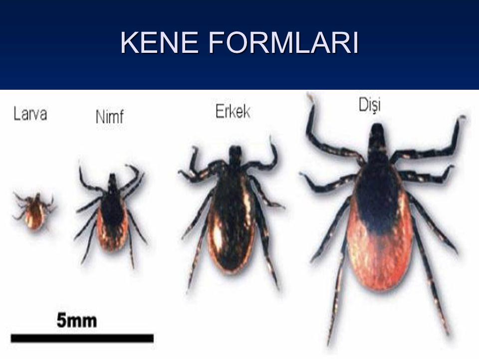 KENE FORMLARI