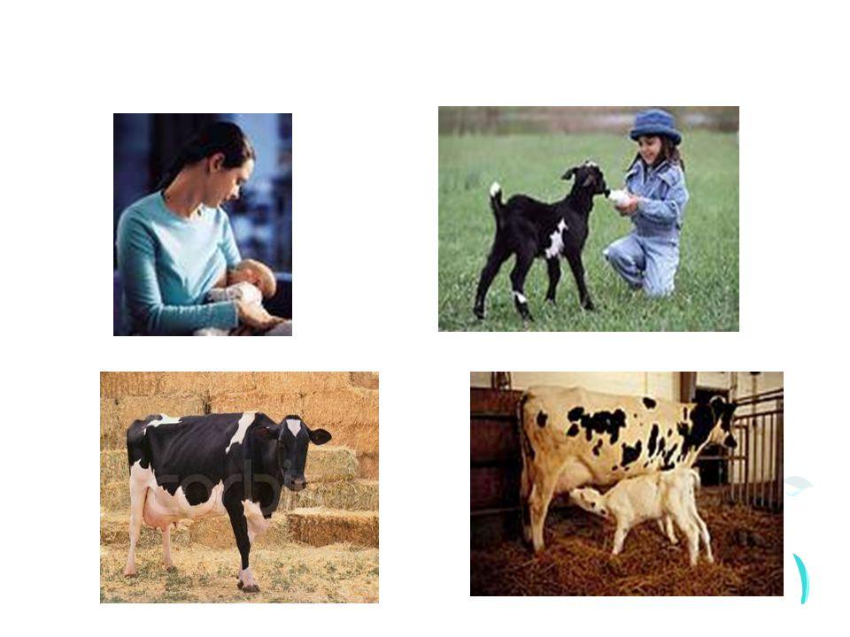 Her canlı yavrusu için süt doğanın sunduğu annenin sağladığı ilk ve en önemli besindir.
