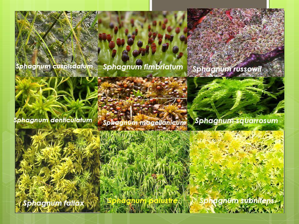 Sphagnum fimbriatum Sphagnum russowii Sphagnum squarrosum