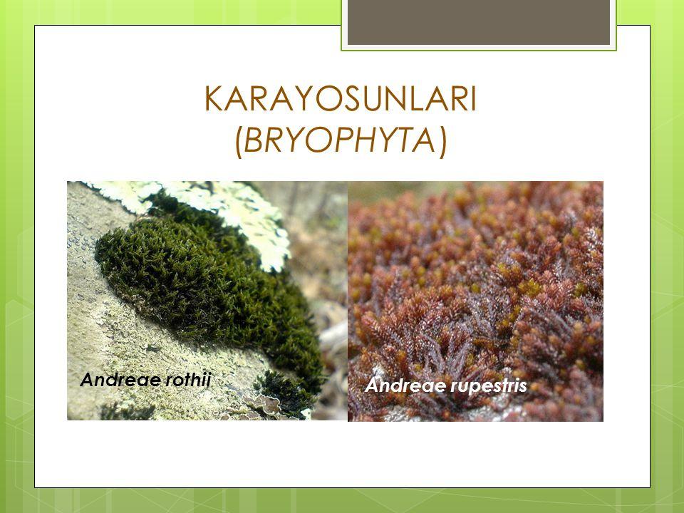 KARAYOSUNLARI (BRYOPHYTA)