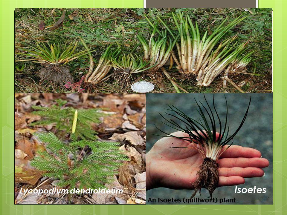 Isoetes Lycopodium dendroideum