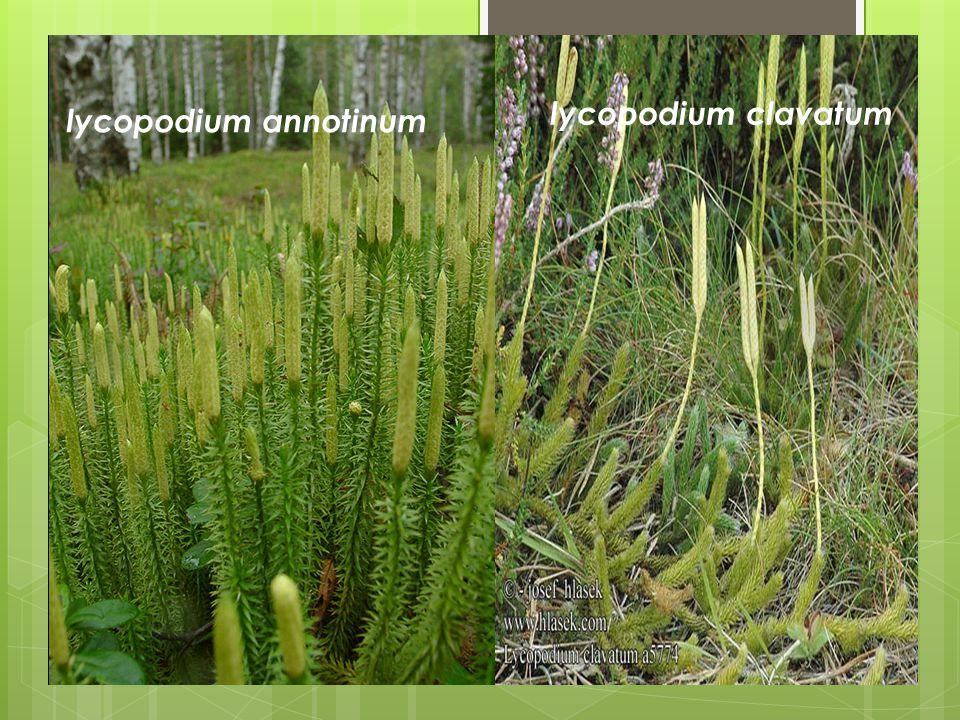 lycopodium clavatum lycopodium annotinum