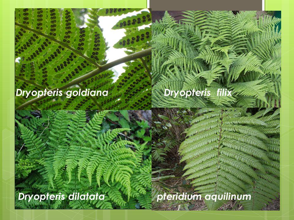 Dryopteris goldiana Dryopteris filix Dryopteris dilatata pteridium aquilinum