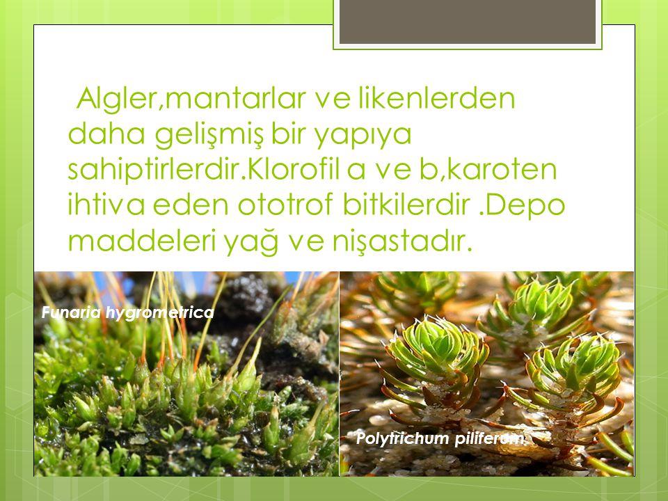 Algler,mantarlar ve likenlerden daha gelişmiş bir yapıya sahiptirlerdir.Klorofil a ve b,karoten ihtiva eden ototrof bitkilerdir .Depo maddeleri yağ ve nişastadır.