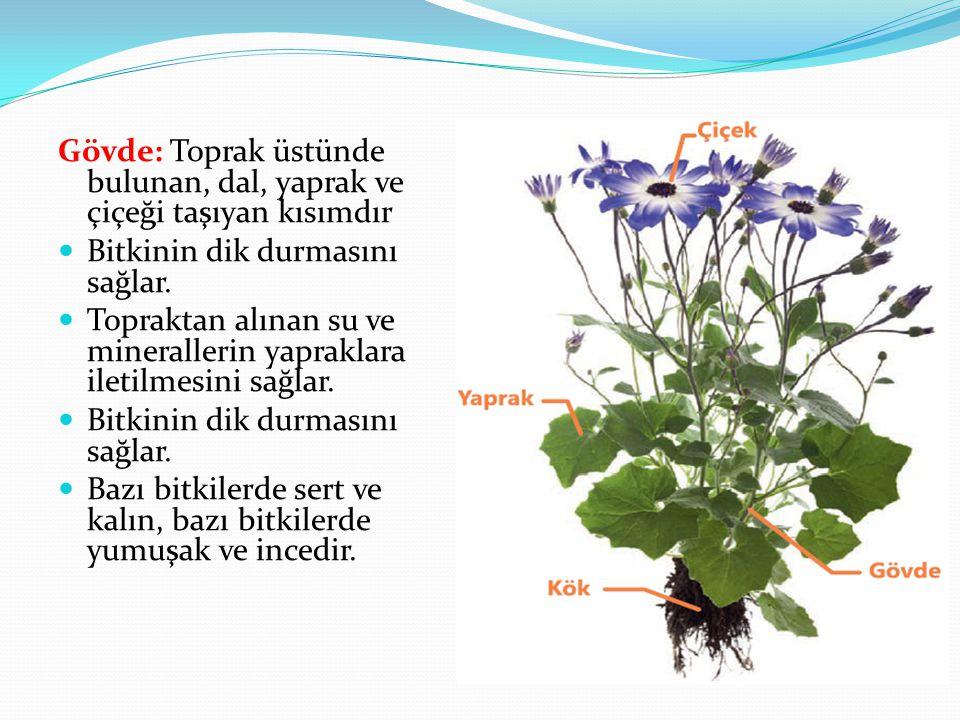 Gövde: Toprak üstünde bulunan, dal, yaprak ve çiçeği taşıyan kısımdır