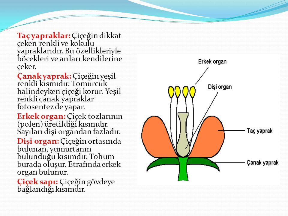 Taç yapraklar: Çiçeğin dikkat çeken renkli ve kokulu yapraklarıdır
