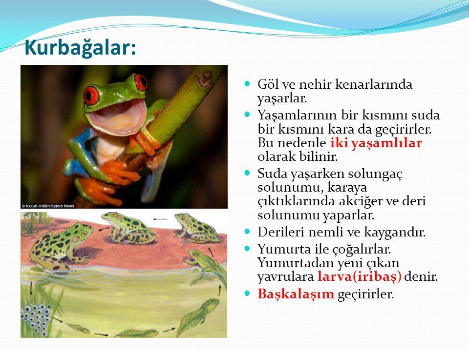 Kurbağalar: Göl ve nehir kenarlarında yaşarlar.