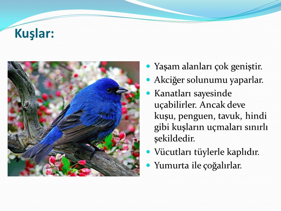 Kuşlar: Yaşam alanları çok geniştir. Akciğer solunumu yaparlar.