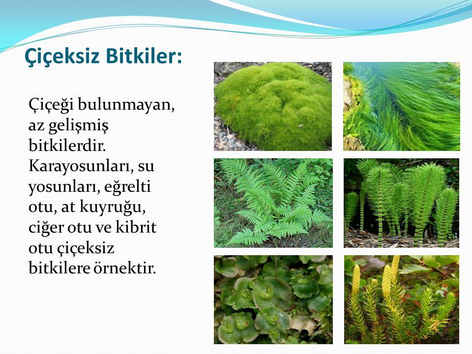 Çiçeksiz Bitkiler: