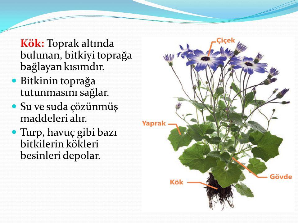 Kök: Toprak altında bulunan, bitkiyi toprağa bağlayan kısımdır.