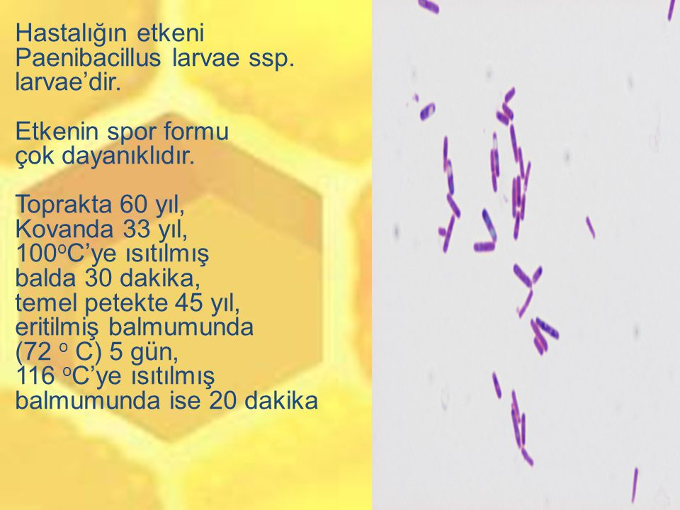 Hastalığın etkeni Paenibacillus larvae ssp. larvae'dir