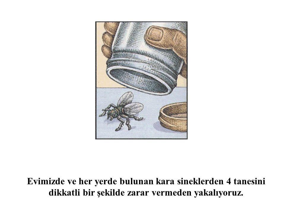 Evimizde ve her yerde bulunan kara sineklerden 4 tanesini dikkatli bir şekilde zarar vermeden yakalıyoruz.