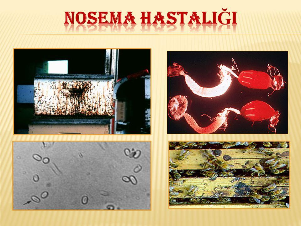 NOSEMA HASTALIĞI